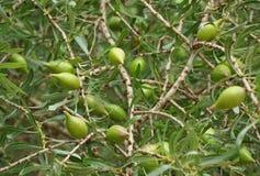 Argan nuts on tree Royalty Free Stock Photography
