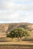 Argan tree. (Argania spinosa) in the high Atlas mountains of Morocco Stock Image