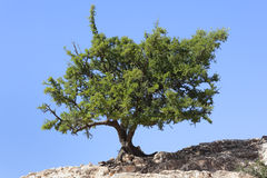 Argan tree (Argania spinosa) against clear blue sky. Royalty Free Stock Photo