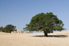 Argan tree in the desert Stock Image