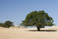 Argan tree in the desert Stock Photography