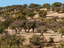 Argan forest. Argan tree found only in Morocco. The tree harvested argan nuts are made up cosmetic oils, olive oil to eat. Argan oil has healing properties stock photography