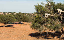Argan tree and goats Stock Image