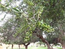 Argan tree. Public garden argan tree in meknes city Royalty Free Stock Photos