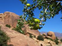 Argan Tree in Tafraout - Morocco. This picture was taken around noon Royalty Free Stock Photography