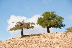 Argan trees. In desert morroco countryside Stock Photos