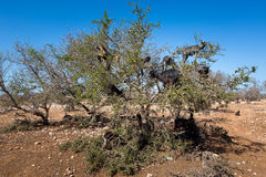 Argan trees and the goats on the way between Marrakesh and Essaouira in Morocco. Stock Photos