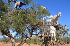Argan trees and the goats on the way between Marrakesh and Essaouira in Morocco stock photography
