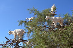 Argan trees and the goats on the way between Marrakesh and Essaouira in Morocco Stock Photos