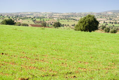 Argan trees in green field Stock Photography