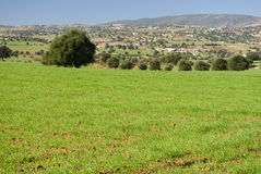 Argan trees in green field Stock Images