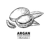 Argan vector drawing. Isolated vintage  illustration of nut. Org Stock Images