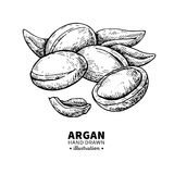 Argan vector drawing. Isolated vintage  illustration of nut. Org Stock Photography