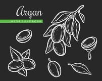 Argan vector drawing nut oil, fruit, berry, leaf, branch, plant. Hand drawn engraved vector sketch etch illustration. Ingredient for hair and body care butter Royalty Free Stock Images
