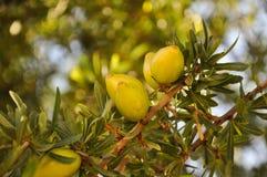 Argan vruchten op een tak - Agadir, Marokko Stock Fotografie
