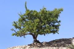圆筒芯的灯树(Argania spinosa)反对清楚的蓝天。 免版税库存照片