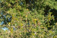 Arganträd i Marocko Arkivfoton