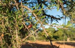 Arganträd i Marocko Arkivbild