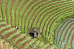 Argapura Ινδονησία 2018: Farmer που λειτουργεί στη φυτεία κρεμμυδιών τους το πρωί μετά από την ανατολή, δυτική Ιάβα, Ινδονησία στοκ εικόνες με δικαίωμα ελεύθερης χρήσης