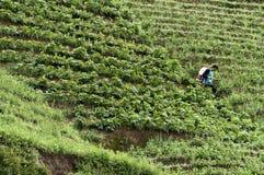 Argapura Indonésia 2018: Fazendeiro que trabalha em sua plantação da cebola para a colheita na manhã após o nascer do sol, Java o imagem de stock