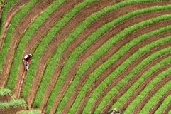 Argapura Indonésie 2018 : Agriculteur travaillant dans leur plantation d'oignon pendant le matin après lever de soleil, Java occi Photos stock