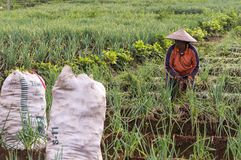Argapura Indonesia 2018: Farmer working in their onion plantation in the morning after sunrise, West Java, Indonesia stock photo