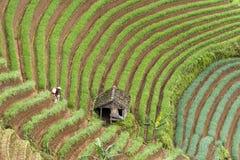 Argapura Indonesia 2018: Granjero que trabaja en su plantación de la cebolla por la mañana después de la salida del sol, Java del imágenes de archivo libres de regalías