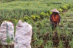 Argapura Indonesia 2018: Granjero que trabaja en su plantación de la cebolla por la mañana después de la salida del sol, Java del foto de archivo