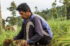 Argapura Indonesia 2018: Granjero que trabaja en su plantación de la cebolla por la mañana después de la salida del sol, Java del imagen de archivo