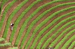 Argapura Indonesia 2018: Granjero que trabaja en su plantación de la cebolla por la mañana después de la salida del sol, Java del fotos de archivo