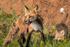 Argbigga för röd räv (Vulpesvulpes) och Kit Quick Turn royaltyfria bilder