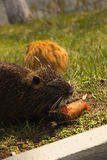 Arge adult water rat eating carrots. On the grass Stock Photos
