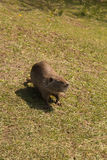 Arge adult water rat. Large adult water rat running on grass Royalty Free Stock Photography
