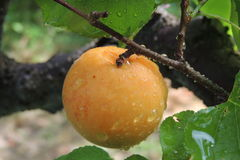 Arge apricots on the branch with rain drops Stock Photos