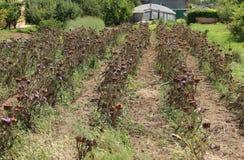 Arge mature artichokes in summer. Field cultivated with large mature artichokes in summer Stock Images