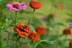 Arge pink flower-zinnia. Large pink flower-zinnia of the family Asteraceae on the bright blurred green background with flower spots and bokeh Stock Images
