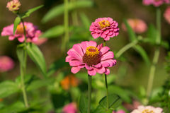 Arge pink flower-zinnia. Large pink flower-zinnia of the family Asteraceae on the bright blurred green background with flower spots and bokeh Stock Image