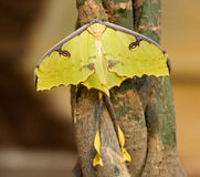 Argema mimosae butterfly Stock Image