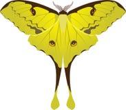 Argema mimosae butterfly Stock Photos