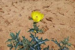 Argemone λουλούδι εγκαταστάσεων mexicana Στοκ φωτογραφία με δικαίωμα ελεύθερης χρήσης