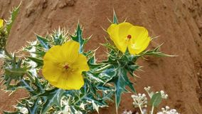 Argemone mexicana植物叶子 免版税图库摄影