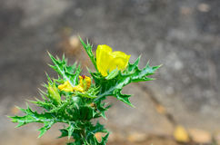 Argemone Mexicana or Mexican poppy Royalty Free Stock Photography