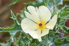 Argemone ochroleuca - Invasive plant Stock Images