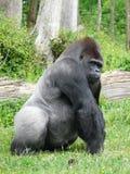 argent arrière de mâle de gorille Image stock
