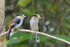 Argent-breasted Broadbill Image stock