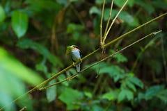 Argent-breasted femelle Broadbill sur l'arbre Photos stock