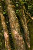 Argent d'arbre d'argent vrai sur le vrai arbre image libre de droits