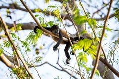Argent d'hurleur de bébé détendant dans un arbre photo libre de droits
