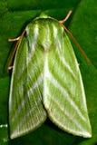 Argent-lignes mite (fagana de vert de Pseudoips) Images stock