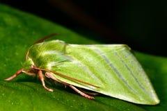 Argent-lignes mite (fagana de vert de Pseudoips) dans le profil Photos libres de droits